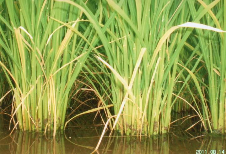 稲の根写真